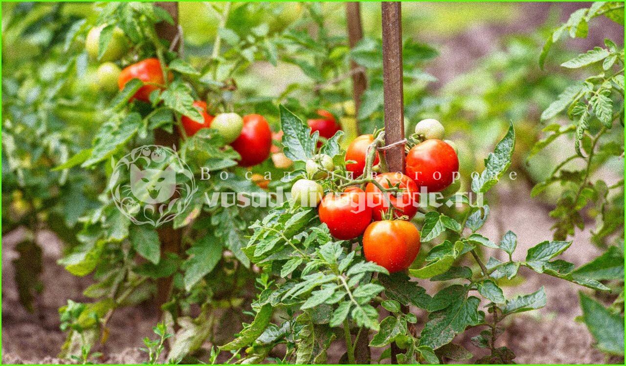 рецепты, пятна, болезни, выращивание, уход, запеченные, блюда, маринованные