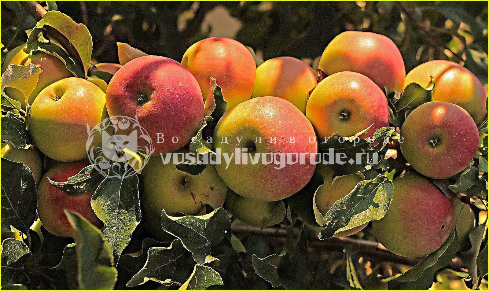 яблоки, яблоко, сорт, урожай, как выбрать, болезни