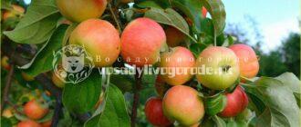 яблоки, фрукты, компот, как ухаживать, урожай, болезни, варенье, настойка