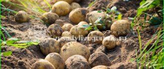 окучивание картофеля мотоблоком, окучивание картофеля дисковым окучинком, окучивание картофеля руками, окучивание картофеля культиватором, плуг для окучивания картофеля, приспособление для окучивания картофеля, ручное окучивание картофеля