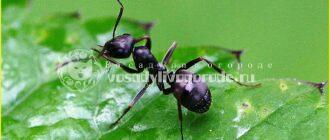 как избавиться от муравьев, муравьи на даче, что помогает от муравьев