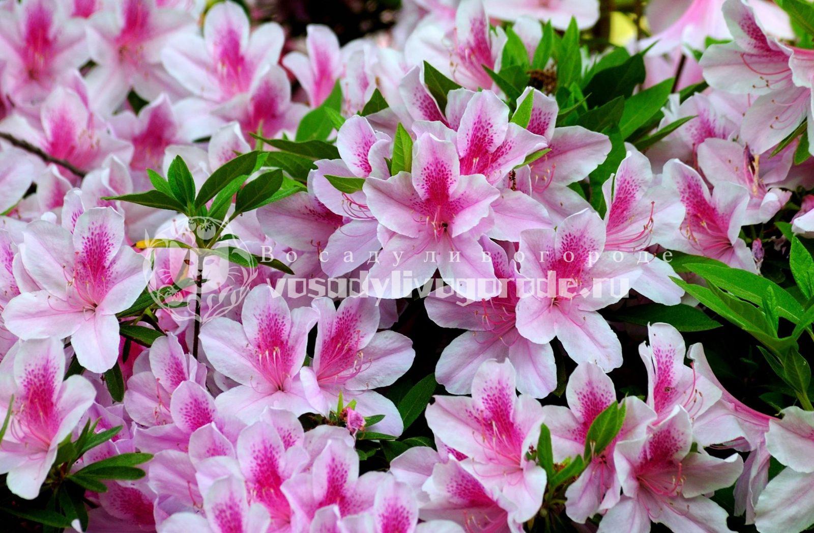 цветы, растения, уход, полив, удобрение