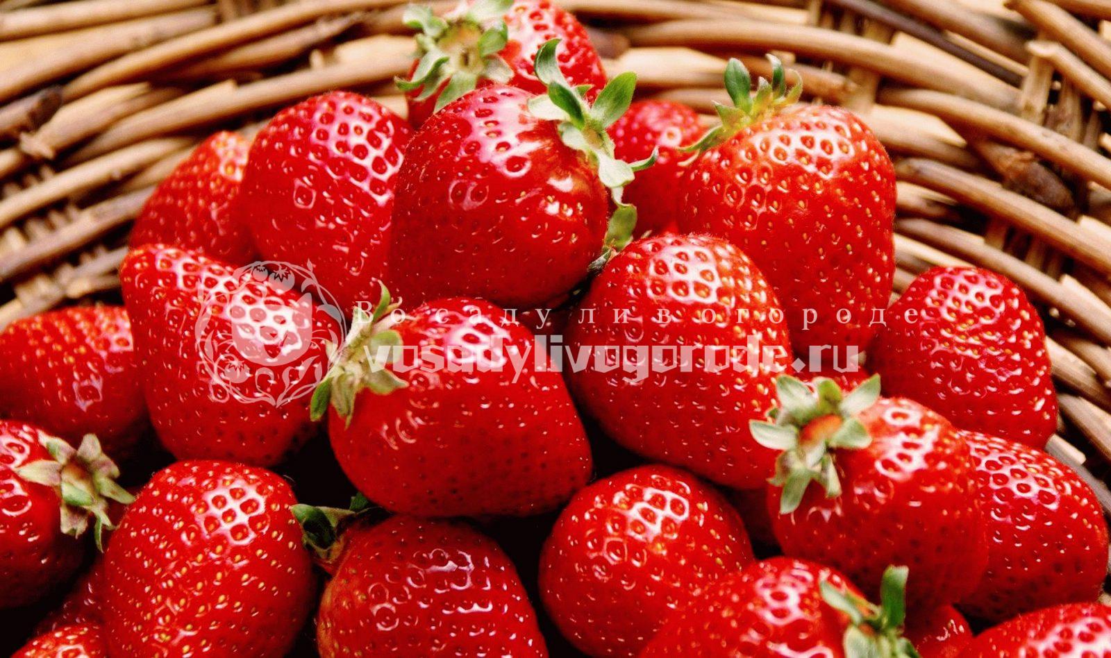 клубника, ягоды, размножение клубники