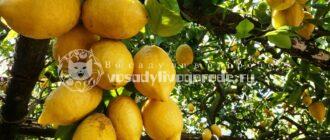 лимон, цитрус, дерево