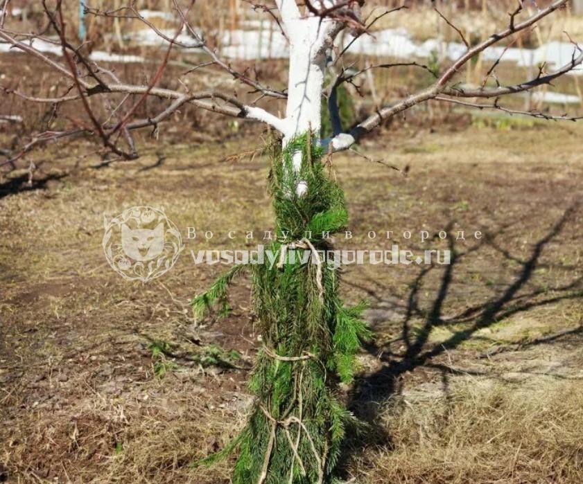 Обложить дерево лапником