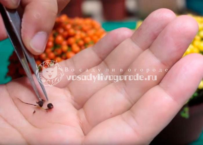 Семена нестеры