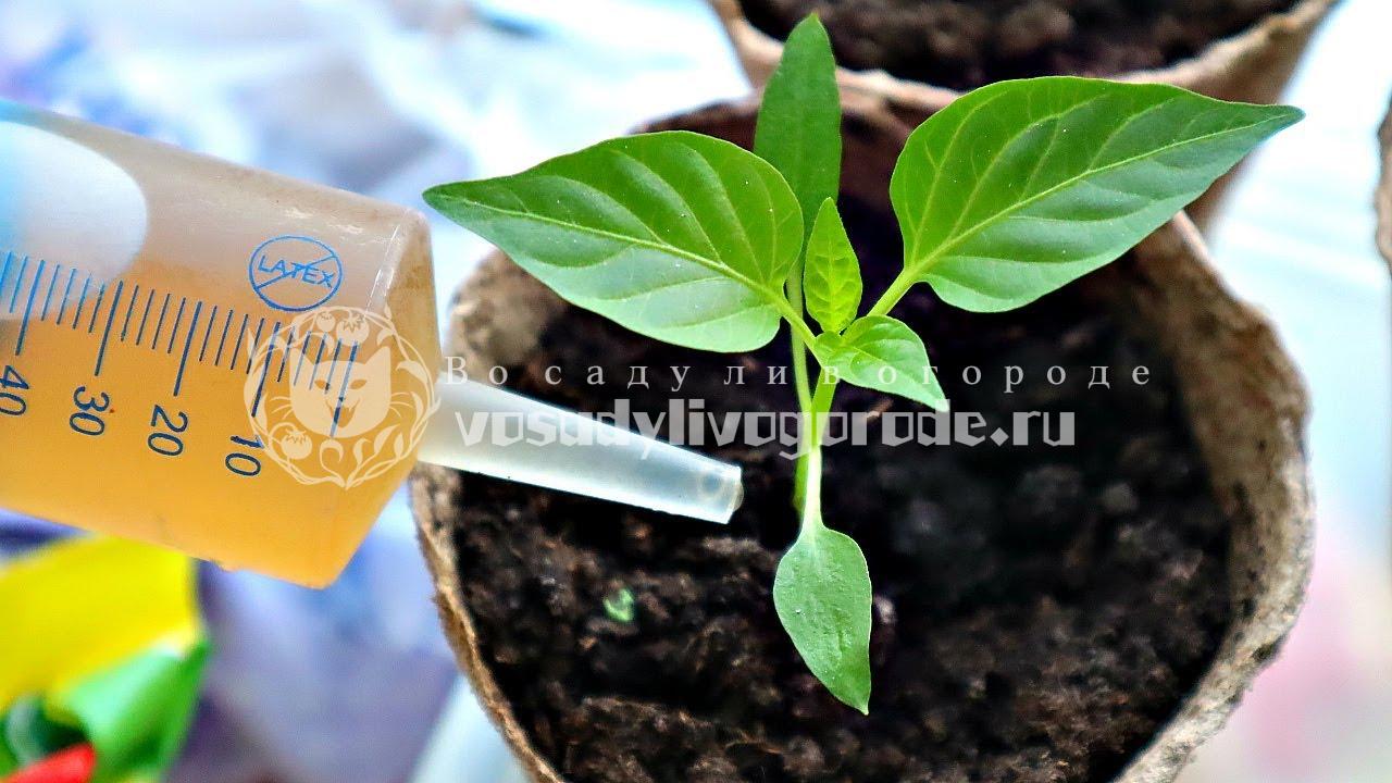 Полить чайным раствором рассаду