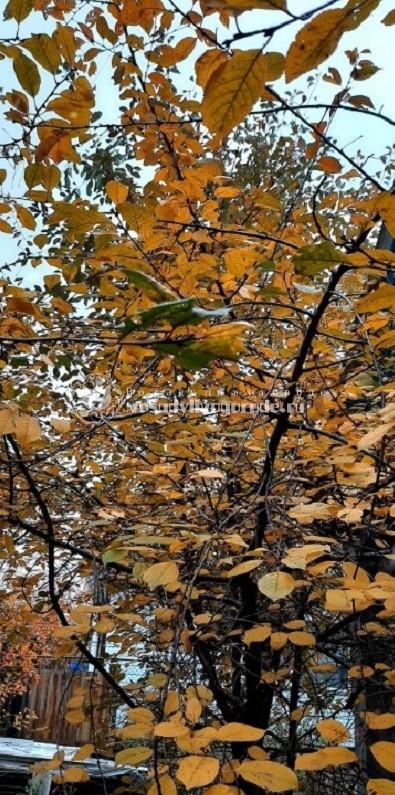Вишневое дерево осенью